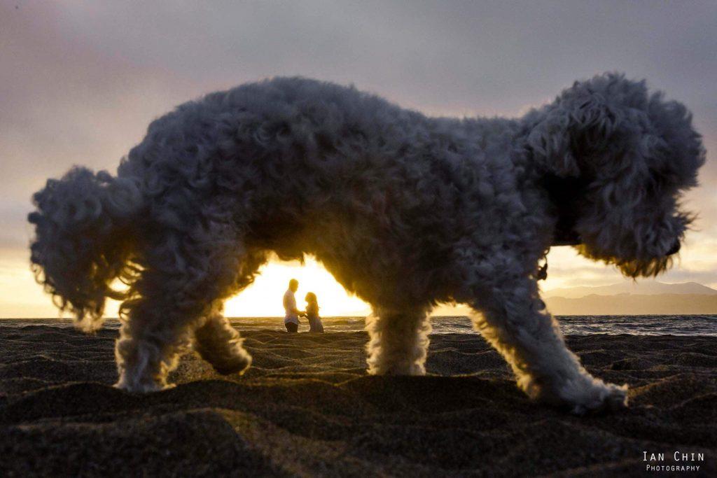 Baker Beach Sunset Engagement Shoot Dog Maltipoo - Ally + Derrick - 19