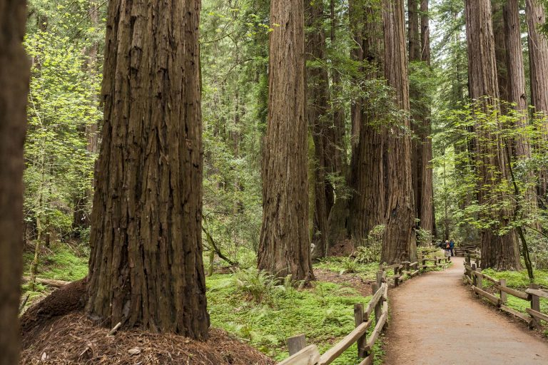 Wedding in Muir Woods walkway with redwood trees in the background